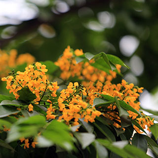 (Hà Nội ) Ngắm hoa sưa vàng đẹp nở rộ giữa lòng thành phố
