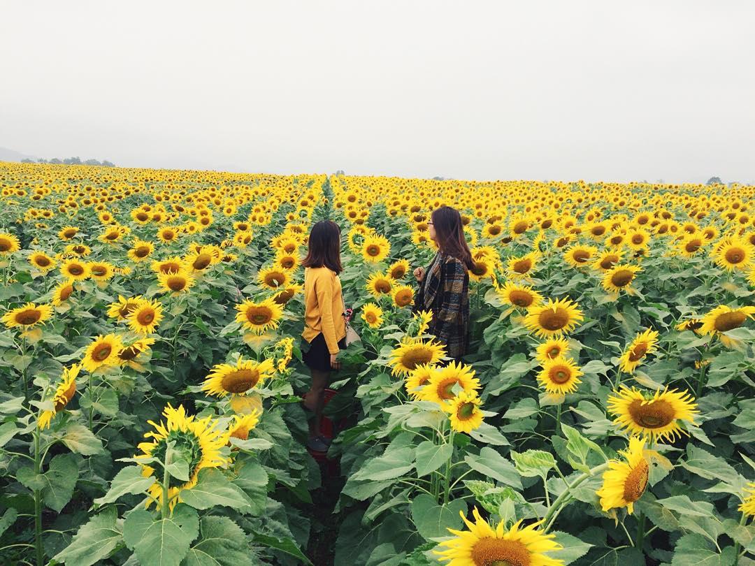 Kết quả hình ảnh cho hoa mặt trời