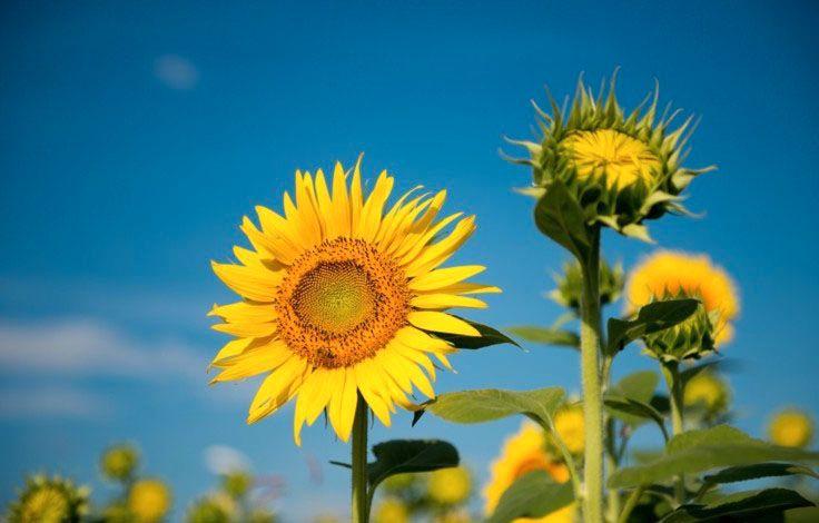 Vẻ đẹp rực rỡ của hoa mặt trời