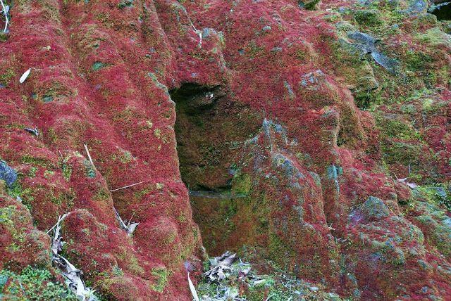 các thảm rêu đỏ