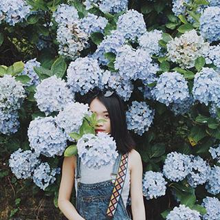 Lùng ra vườn hoa cẩm tú cầu yêu kiều sánh ngang với Đà Lạt