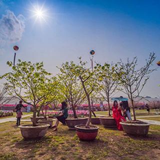 (QN) Háo hức đón chờ Lễ hội hoa Anh Đào – Mai vàng Yên Tử ngập tràn sắc xuân