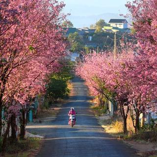 Nhuộm hồng phố núi với hoa mai anh đào nở rộ khắp Đà Lạt