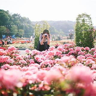 (Hà Nội) Tất tật thông tin cần biết về lễ hội hoa hồng Bulgaria lớn nhất Việt Nam