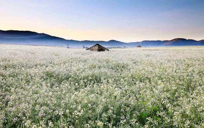 Kết quả hình ảnh cho mùa hoa cải trắng tại đà lạt