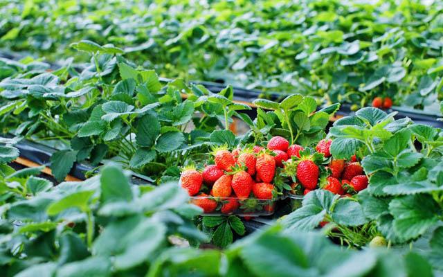 Vườn Dâu Chú Hùng ở Lâm Đồng