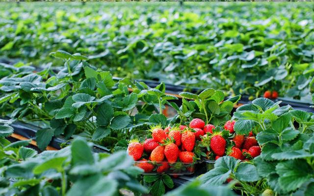 Vườn Dâu Mai Cúc - Ngô Văn Sở ở Lâm Đồng