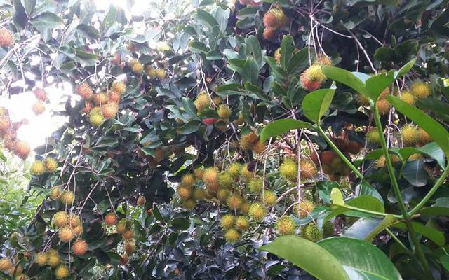 Vườn Trái Cây Tư Tuấn ở TP. HCM