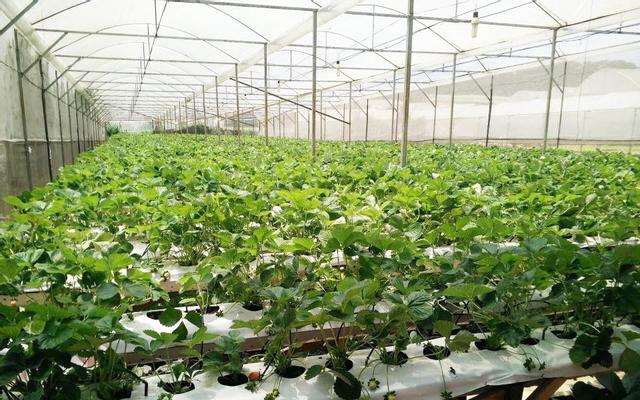 Vườn Dâu Thanh Trung ở Lâm Đồng