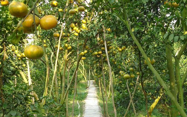 Vườn Quýt Hồng Danh ở Đồng Tháp