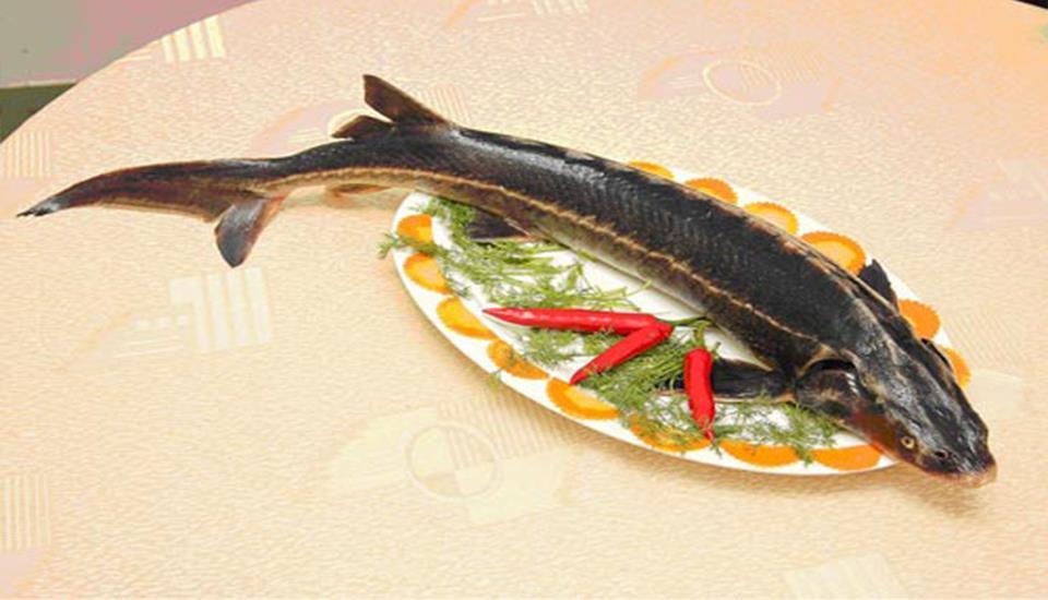 Cá Tầm KLA